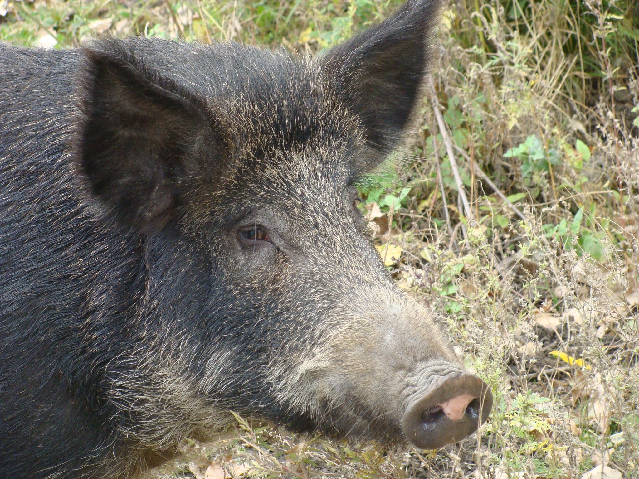В Волгоградском регионе открывается охота на кабана